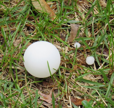 A ping-pong ball is on the left, compared with pea-sized hail that fell at 3:30 p.m. in central Wyandotte County.