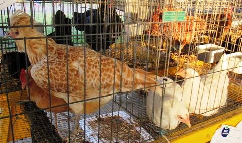 More poultry on display at the Wyandotte County Fair. (Staff photo by Mary Rupert)